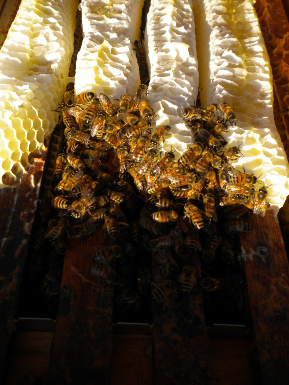 Bijen op de wintertros