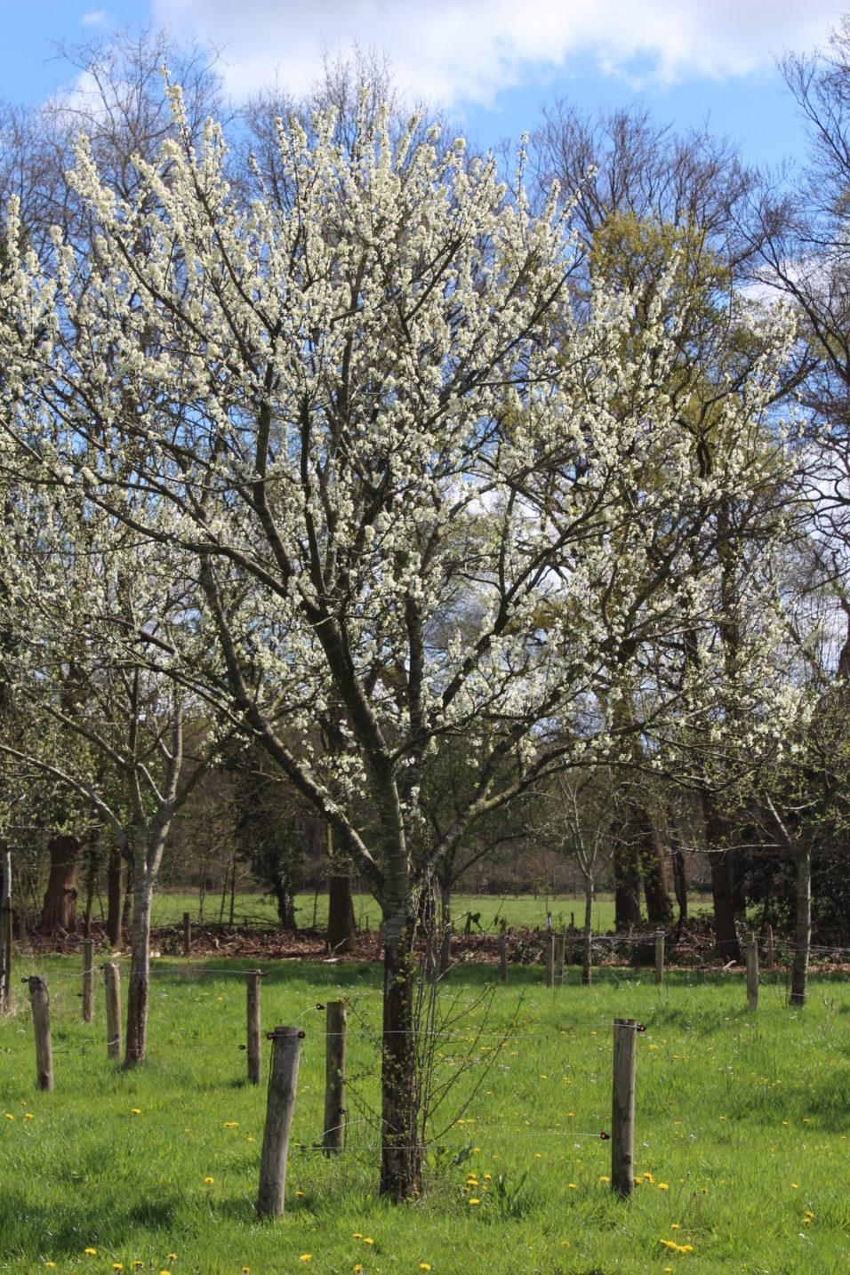 Pruimenboom in bloei voorjaar 2016
