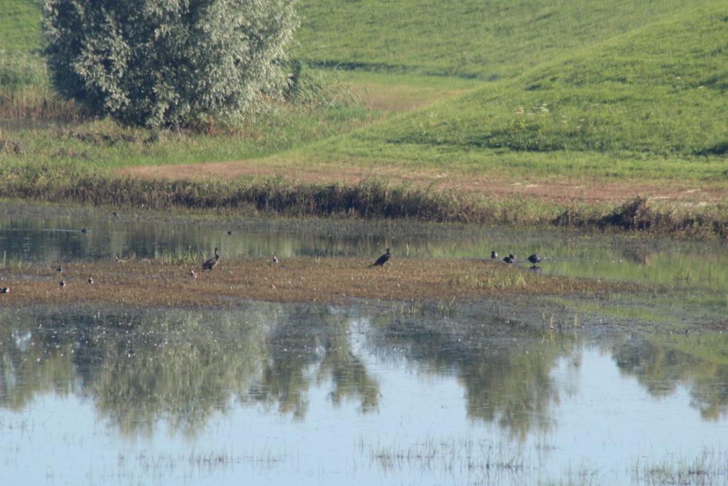 Watervogels op een plek waar normaal zomers de koeien grazen in de uiterwaarden.