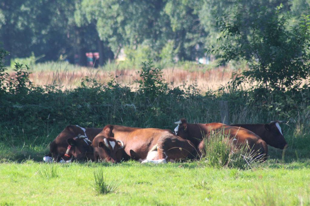 Brandrode runderen die grazen in het Hanzebos op 't Nijendal.