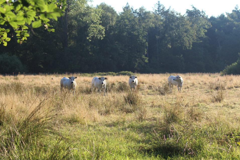 Koeien die het Nijendal begrazen aan de oostzijde.