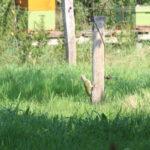 Groene specht op rasterbaal in de boomgaard.