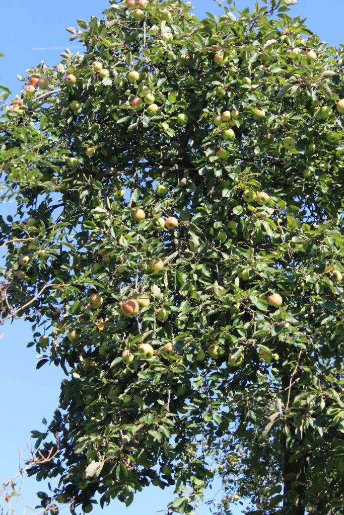Appelboom vol appels.